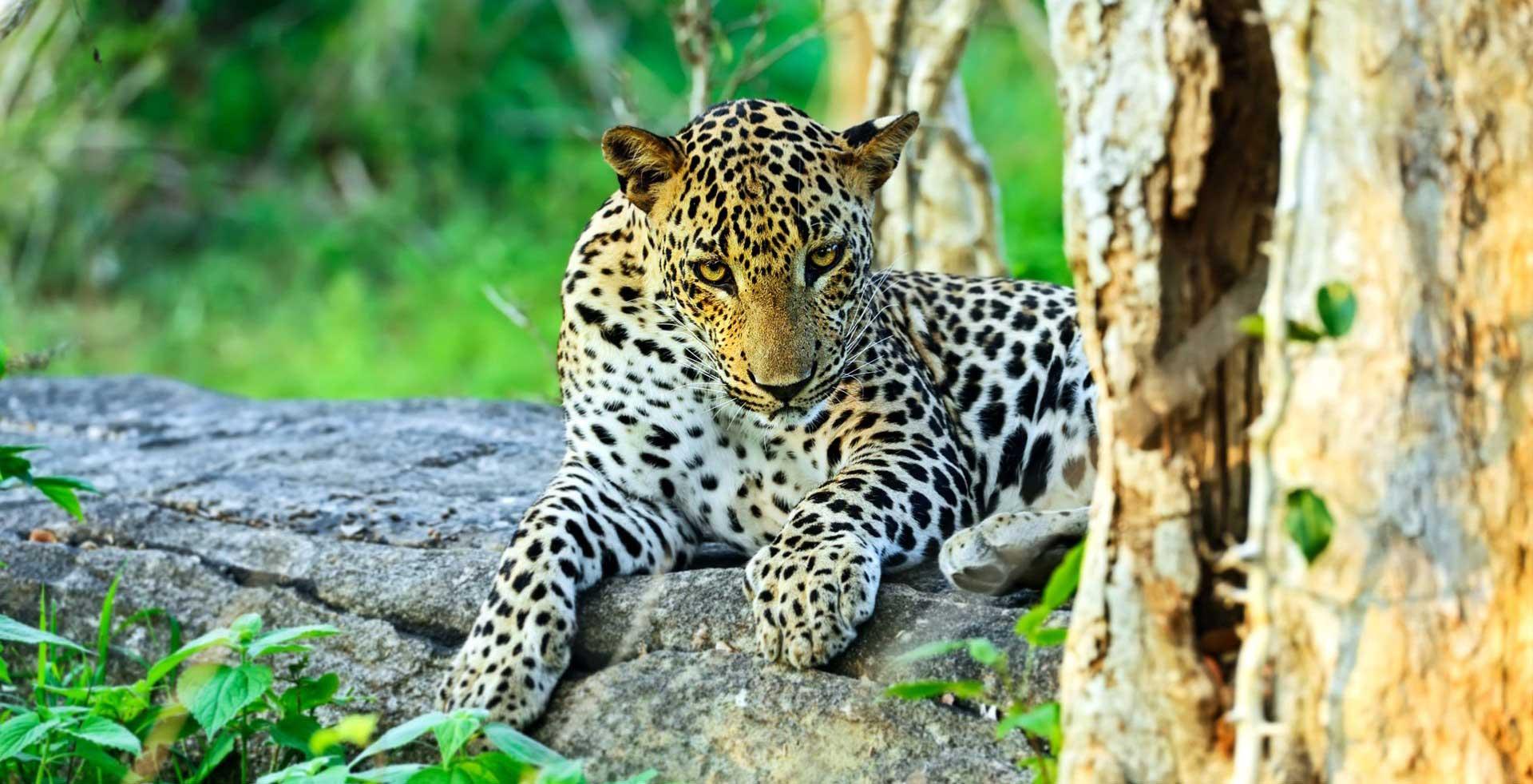 asian-leopard-yala-national-park-sri-lanka